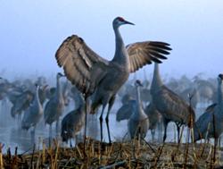 Crane-Dancing